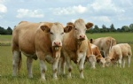 Beef Cattle-Simmental